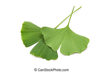 ginkgo biloba leaves - green ginkgo biloba leaves isolated...
