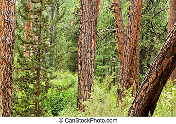 Dense Forest View - View of pine trees with a combination of...