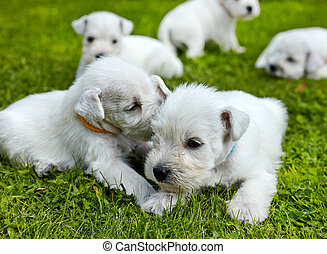 white schnauzer puppies in a green grass