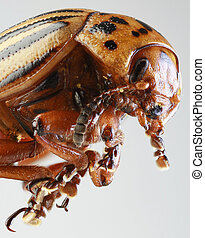 Colorado Beetle Macro - Colorado Potato Beetle (Leptinotarsa...