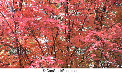 Brilliant Fall Foliage - brilliant fall foliage in a gentle...