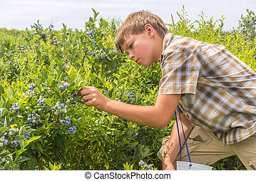 Boy picking blueberries - Boy picking fresh blueberries on a...