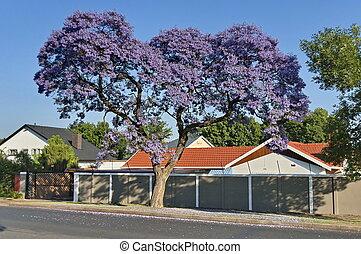 Jacaranda blossom in spring at Johannesburg street