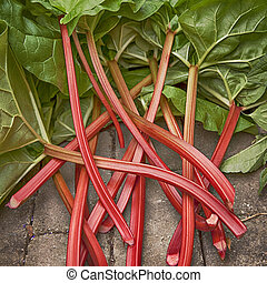 Rhubarb - Image of fresh stems of rhubarb straight from the...