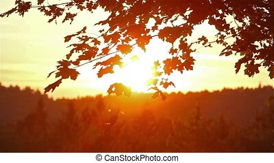 maple leaves at sunset background