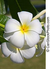 White Frangipani flower at full bloom during summer plumeria...