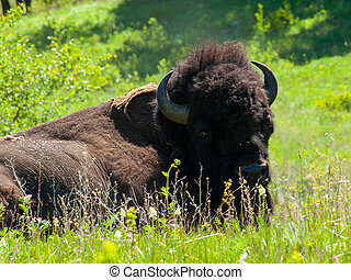 Large American Bison at the National Bison Range in Montana,...