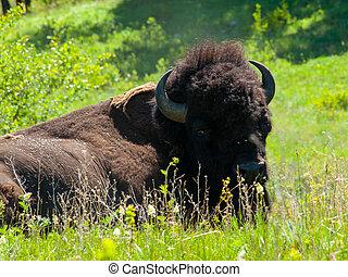 wielki, amerykanka, bizon, krajowy, bizon, skala, Montana,...