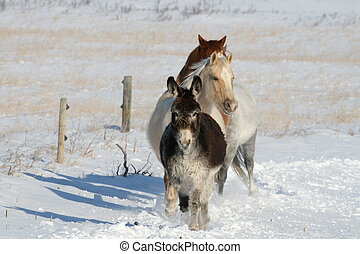 Leading the Way - Donkey leading horses home in winter to be...
