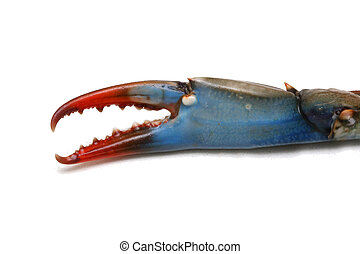 Blue crab claw - Big blue crab claw close up shot