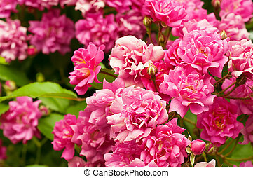 Peony flowers - Pink peony flowers growing in the garden,...