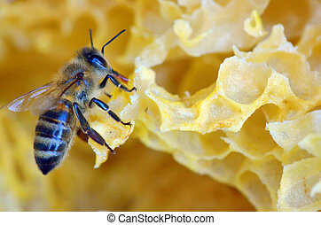 honey comb and a bee