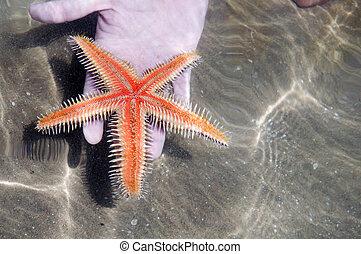 Starfish in the hand