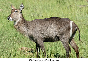 Wild Life - Female Waterbuck