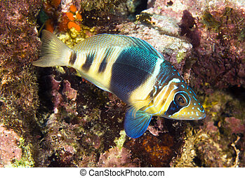 Barred hamlet - A barred hamlet swimming in the waters of...