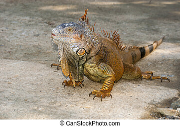Iguana - An iguana walks freely in the wild terrqain of...
