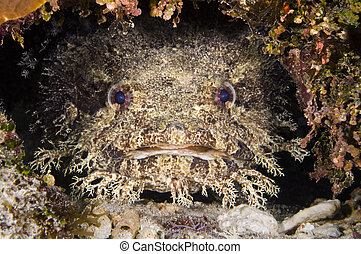 Toadfish - A toadfish in a crevice on a reef in Roatan...