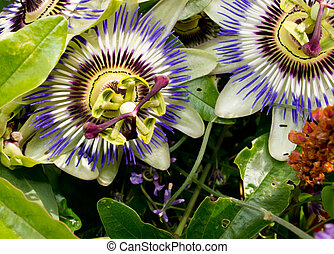 Passion flower - An image of the beautiful flower Passiflora...