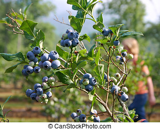 Blueberry Picking - Ripe blueberries and a woman picking...