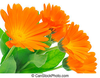 calendula flowers with leaves isolated on a white background