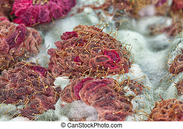 Raspberry Decay - Macro of mould growing on raspberries