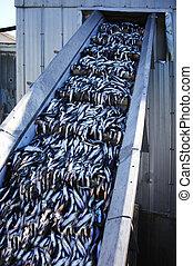 Unloading Caplin Fish - Transferring Caplin Fish from boat...