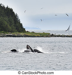 Humpback Whales Feeding - Humpback Whales Bubble Feeding In...