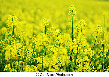 yellow colza -   bright yellow colza field summers day