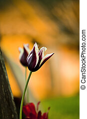 tulipán, tarde, luz