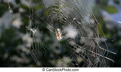 Spider and drops on the spiderweb