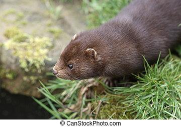 American mink, Mustela vison, sussex, spring...