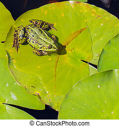 Common Frog (Rana temporaria) in a pond