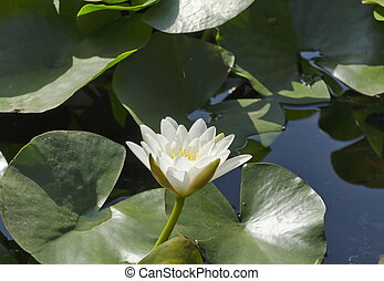 Water-lily flower at pond