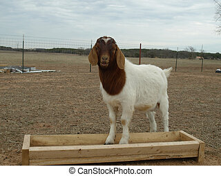Billy Goat - Billy goat standing in his food troth