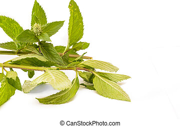 Mentha - Detail of Mentha on white background You can use it...