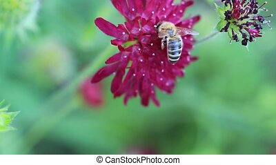 bee - conquer blossom from another - a bee works on a...