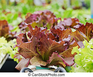 légume, hydroponique