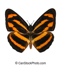 Burmese Lascar Butterfly - 3D digital render of a burmese...