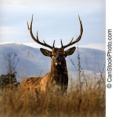 Big Elk With Large Rack of Horns National Bison Range Charlo...