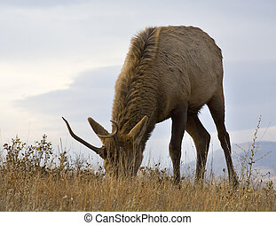 Young Male Elk Grazing Close Up National Bison Range Charlo Mont