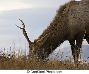 Young Male Elk Grazing National Bison Range Charlo Montana