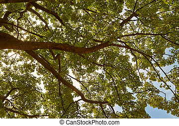 Sycamore tree - A large sycamore tree from below, under a...