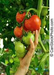 womens arm holding red tomato - womens arm holding brench of...