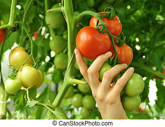 women's arm holding red tomato - women's arm holding brench...