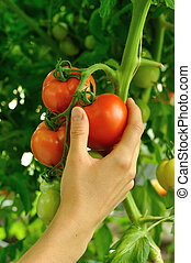 womens arm holding red tomato - womens arm tearing off red...