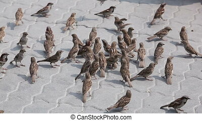 Summer sparrows - Flock of sparrows fighting over bread...