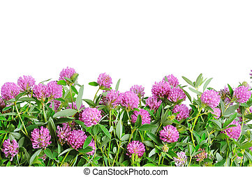 Red clover flower. White background - Clover plant macro...