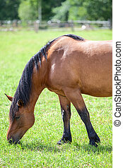 Chestnut horse with black mane grazing in field. Closeup view