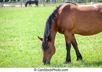 Chestnut horse with black mane grazing in the meadow. Closeup view. Copyspace