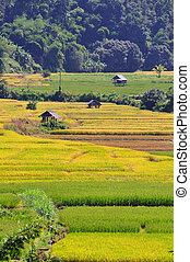 Thailand s rice field, Chiang Mai - Thailand s rice field...